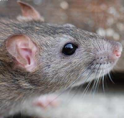 ratten bestrijding rattenbestrijding