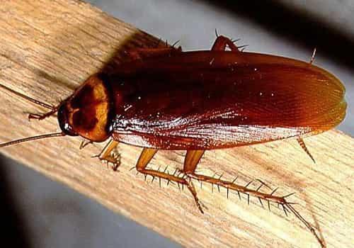 kakkerlak kakkerlakkenbestrijding kakkerlakken bestrijding kakkerlakbestrijding