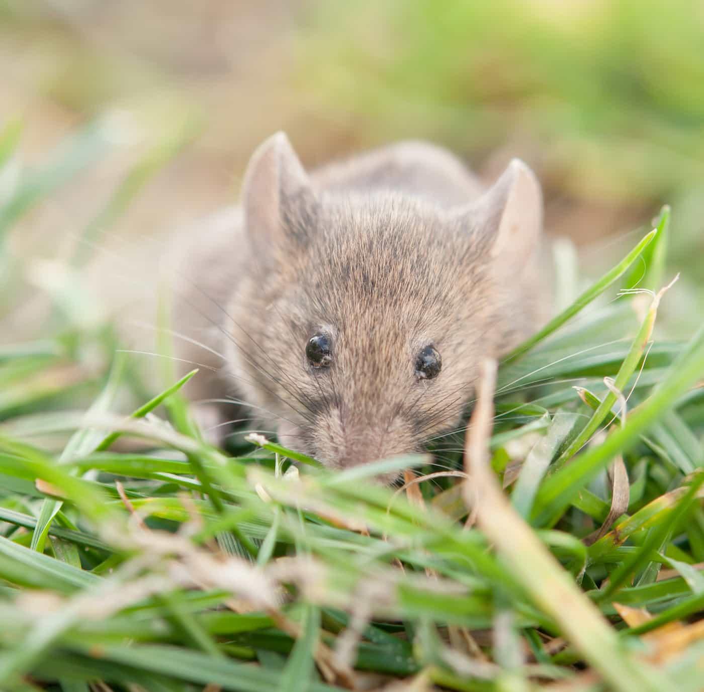 muizen last muizenbestrijding