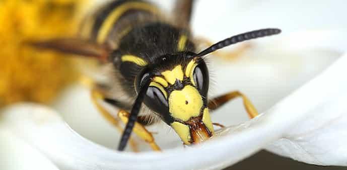 wespen bestrijding wespenplaag plaag wespenbestrijding
